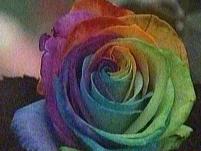 Japonia şi floarea în şapte culori: trandafirul curcubeu, prezentat la expoziţia de flori