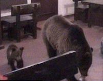 Sinaia. Ursoaica şi puii, la plimbare pe terasa unui restaurant (VIDEO)