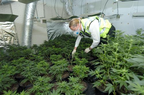 Un olandez are propria grădină de cannabis în spatele casei