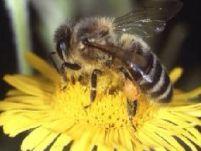 albinele pot numara pana la patru