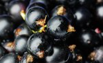 Wild weather prompts wild berry eating orgy