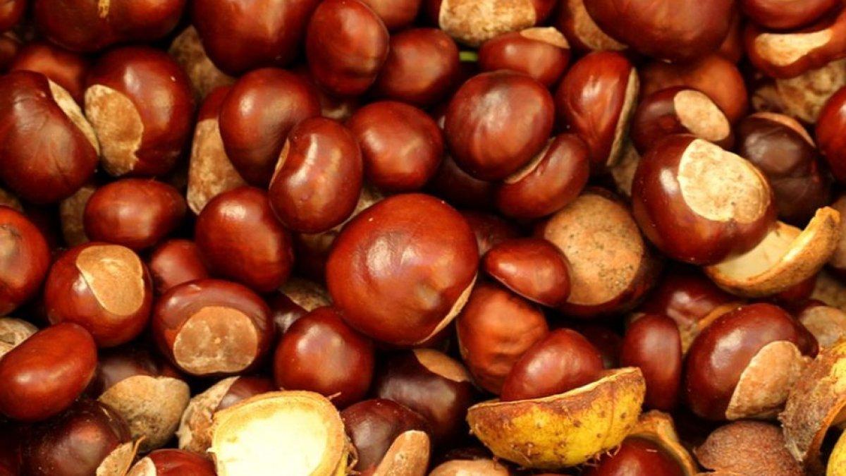 fructe de tinctură castane varicoză