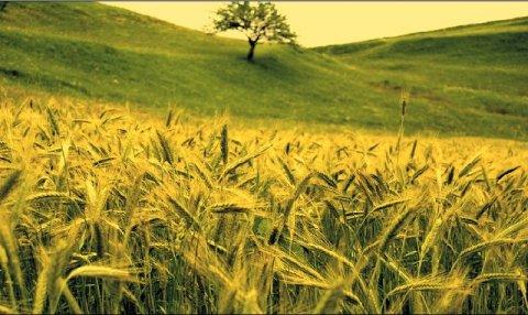 """Cândva """"grânarul Europei"""", România a ajuns pe ultimul loc din UE la producţia de grâu şi porumb"""