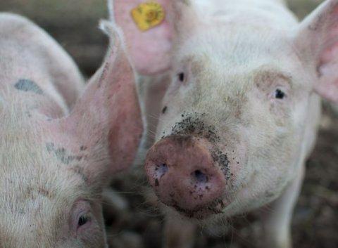 Pesta porcină pare de neoprit: Numărul localităţilor în care evoluează a ajuns la aproape 300