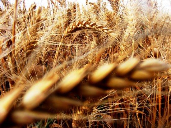 """Agricultura, punctul forte al ţării. Recoltă RECORD de grâu în 2014. România, """"GRÂNARUL EUROPEI"""" 442"""