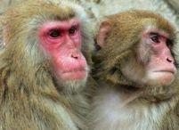 <font color=red>Premieră</font>: Clonarea embrionilor de maimuţă, primul pas spre clonarea umană
