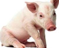 Românii au voie să-şi taie porcii pentru Crăciun singuri
