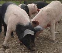 ANSVSA a decis: porcii din ferme vor fi sacrificaţi numai după asomare