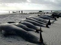 Peste 60 de balene au eşuat pe o plajă din Australia
