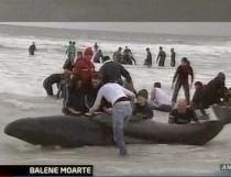 34 de balene eutanasiate, după ce au eşuat pe o plajă din Africa de Sud (VIDEO)