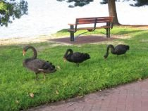 Parcurile Cişmigiu şi Bordei au fost populate cu păsări exotice