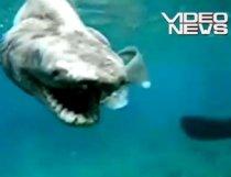 Imagini cu un rechin preistoric foarte rar capturat pe coasta Japoniei (VIDEO)