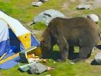 Sinaia. 25 de urşi, capturaţi de pădurari (VIDEO)