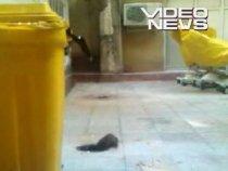 Şobolan filmat pe holurile unui spital din Bucureşti (VIDEO)