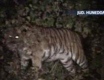 Doi tigri au evadat din cuşti, la grădina zoologică din Hunedoara