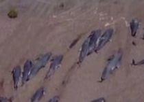 Zeci de balene, salvate de voluntari, în Noua Zeelandă (VIDEO)