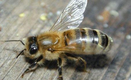 Căldura face insectele mai agresive. Zeci de ieşeni înţepaţi de viespi sau albine