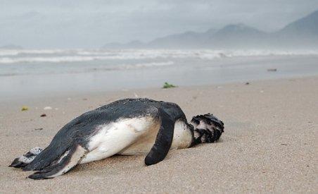Sute de pinguini morţi pe plajele din Brazilia (VIDEO)