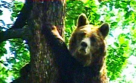 Urşii din Carpaţi ar putea fi exportaţi. Până atunci, li se oferă ciocolată pentru a rămâne în pădure (VIDEO)