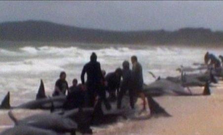 Noua Zeelandă. Aproape 60 de balene-pilot au murit după ce au eşuat pe plajă (VIDEO)