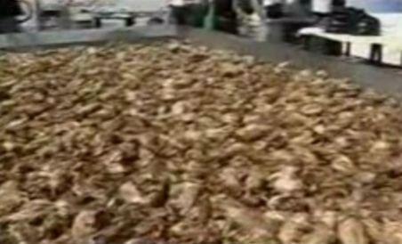 Clujenii au stabilit un record mondial prăjind 210 pui într-o singură tavă (VIDEO)