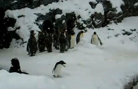 Un pinguin îi face concurenţă lui Fred Astaire. Dansează de bucurie