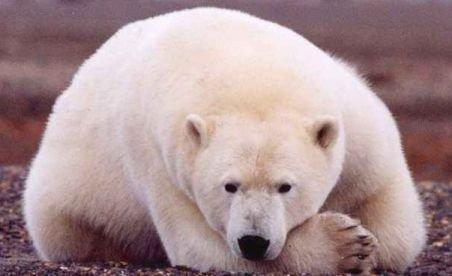 Un explorator norvegian a luat micul dejun cu un urs polar