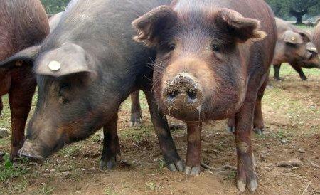 Leşuri de porci importaţi din Olanda, găsite pe un câmp din Prahova