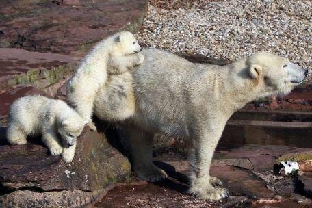 Doi pui de urs polar fac senzaţie la o grădină zoologică din Germania