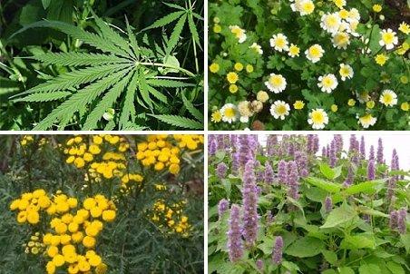 11 plante care te pot ajuta să slăbeşti - CSID: Ce se întâmplă Doctore?