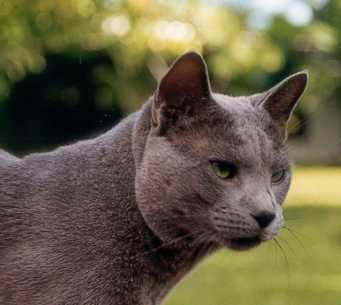 Pisicile albastre ar putea să înlocuiască birmanezele şi siamezele