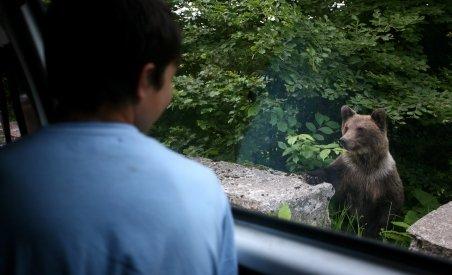 Buşteni. Urşii-gunoieri se plimbă în miezul zilei, în zonele populate