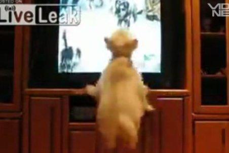 Un căţel sare pe televizor, să-şi întâlnească semenii