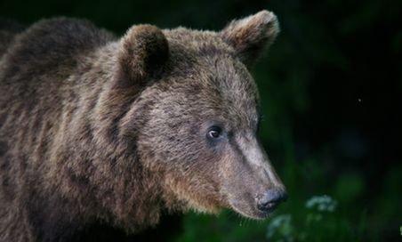 Familia de urşi de la Zărneşti are un nou membru: ursuleţul Misha