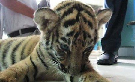 Doi pui de tigru siberian, noua atracţie a Grădinii Zoologice din Târgu-Mureş