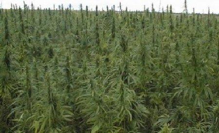 Captură record de marijuana. Autorităţile din California au distrus peste 68.000 de plante