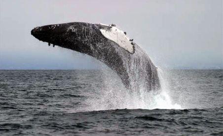 Imagini inedite! O balenă eliberată din plasele pescarilor face zeci de salturi de mulţumire