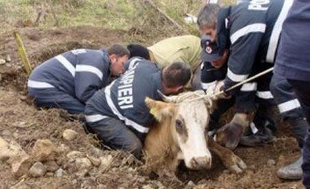 Caraş-Severin. Pompierii s-au chinuit trei ore pentru a salva o vacă dintr-un canal