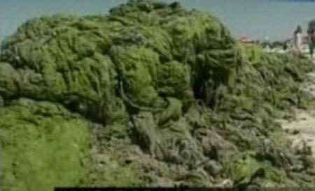 Turiştii din Mamaia primesc bonus măşti chirurgicale pentru mirosul degajat de alge