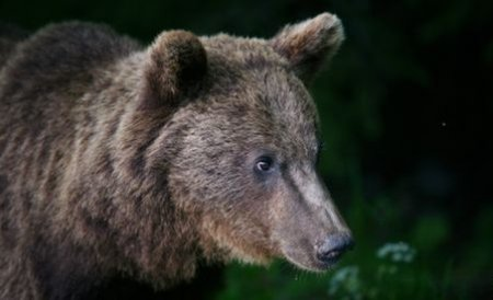 Sinaia. O ursoaică-gunoier de 100 de kilograme, capturată de pădurari