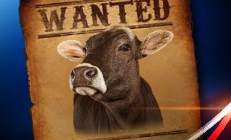 Germania. A fost găsită vaca Yvonne, care a fugit de la stăpânii ei la începutul verii. Vezi povestea ei