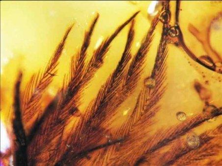 Pene de dinozaur, descoperite în răşină fosilizată, în Canada