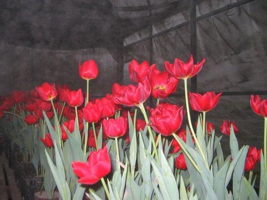 Doi europarlamentari olandezi acuză România de şantaj prin blocarea florilor la graniţă