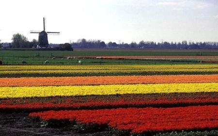 Ministerul Agriculturii: Lalelele olandeze nu conţin bacterii periculoase şi pot fi comercializate