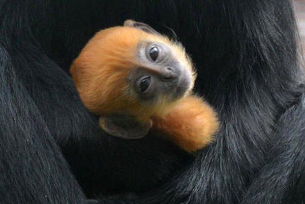 Tango, un pui de maimuţă portocaliu, a devenit vedeta grădinii zoologice din Londra