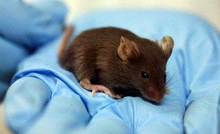 Viaţă de şoarece. Vezi cum trăiesc cobaii din laboratoare, folosiţi pentru studii preclinice