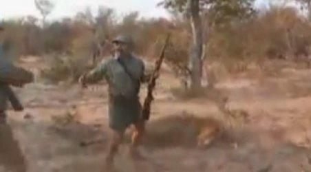 Video incredibil: Un vânător este doborât la pământ de leul vânat, dar scapă cu viaţă. Vezi cum a fost posibil