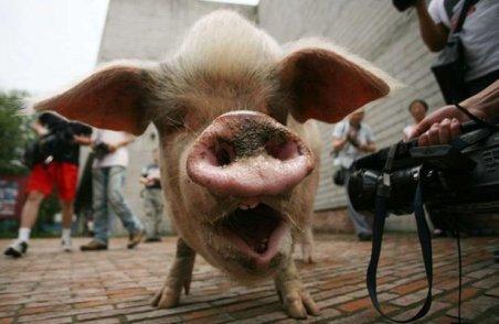 Porcul erou al Chinei a fost clonat. Vezi mai jos de ce este considerat un simbol al forţei şi vigorii