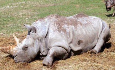 Coarnele de rinocer, mai scumpe decât cocaina
