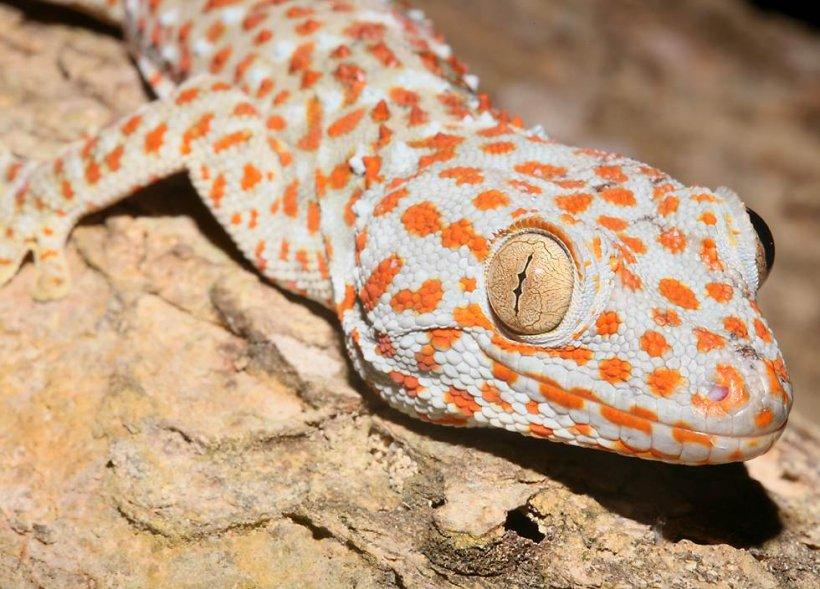 Şopârlele tokay gecko în pericol de dispariţie din cauza unor